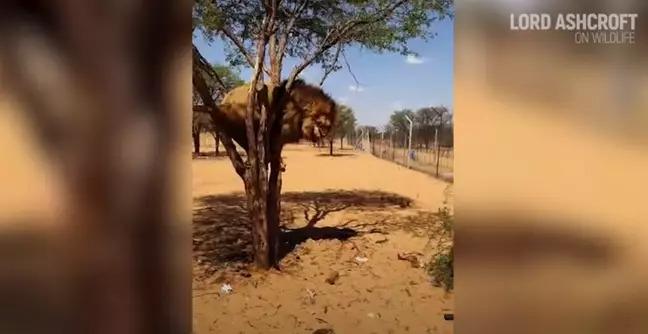 作家爆南非「圈養獅子」內幕...全是為了讓遊客打獵!