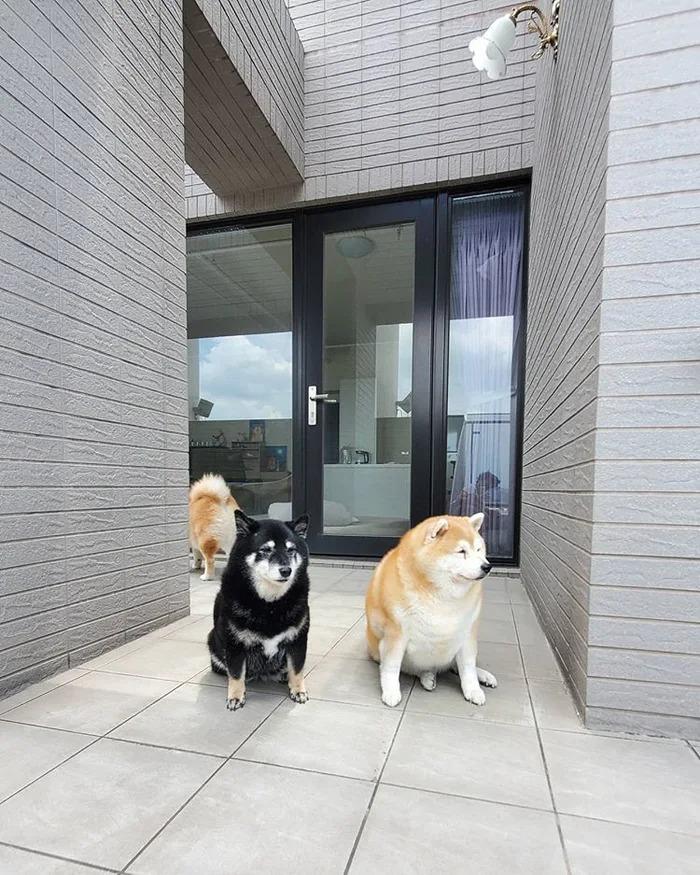 相撲級胖柴犬「下巴炸3層」爆紅 7年來「每天只能吃一餐」!