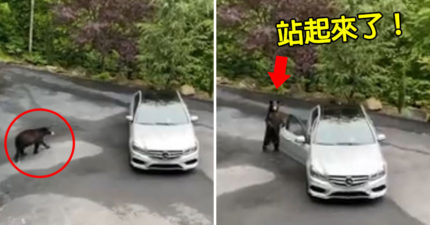 影/野生黑熊起立「撬開門偷車」 他用「超強獅吼功」成功擊退!
