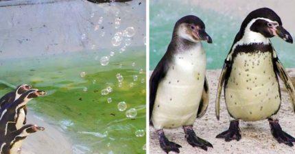 企鵝的童年跟我們一樣!頭抬高「狂追泡泡」超想戳的臉太呆萌