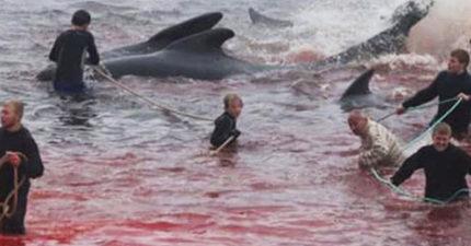 大海被「鯨魚獵人」染成血紅!動保團體爆:每年「至少800隻」