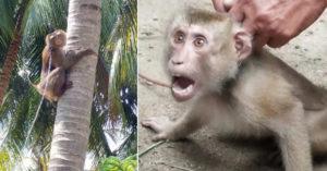 泰國椰奶被爆「用幼猴當免費苦力」農場:做到斷氣為止...