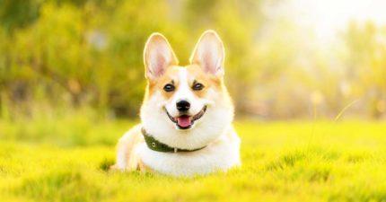 其實狗狗年齡換算人類「不是1:7」牠們一出生就是大叔