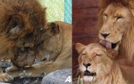 馬戲團「獅子夫婦被囚8年」終於退休 留下「全身傷」度過餘生