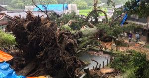 暴風吹倒「拯救2次村莊」大神木 「1300歲的身軀」空拍太驚人