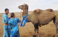 老駱駝被賣後「走100公里回家」 主人「感動回購」讓牠安享晚年