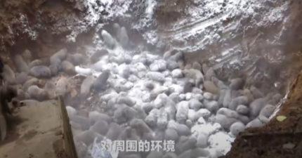 影/中國實施「野味禁令」 6噸「竹鼠、麝貓」全直接被活埋!