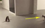 影/小老鼠「互毆狂打」隔壁貓皇看傻 網笑翻:打輸的要犧牲!