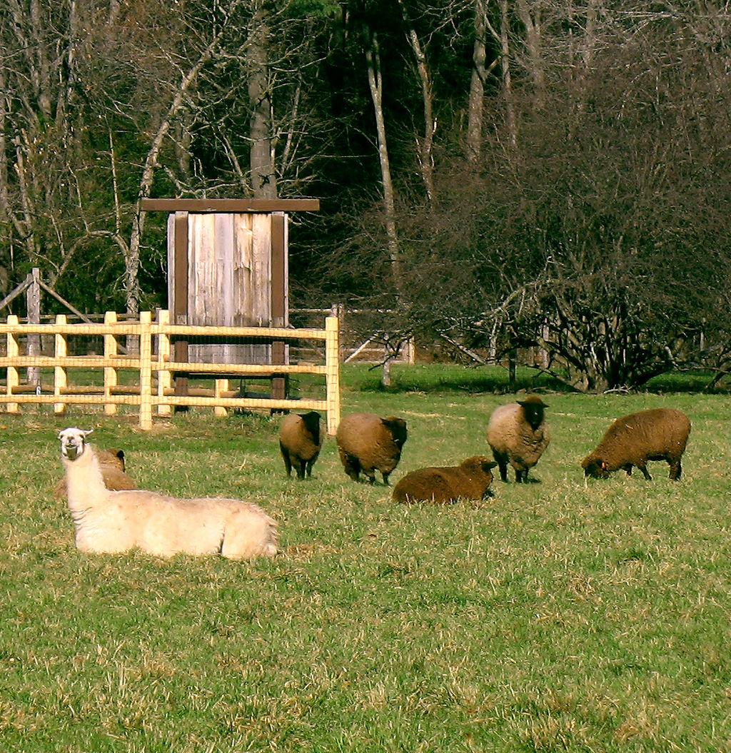 羊駝是天生的「動物保鑣」!靠瘋狂「吐口水」嚇跑大野狼