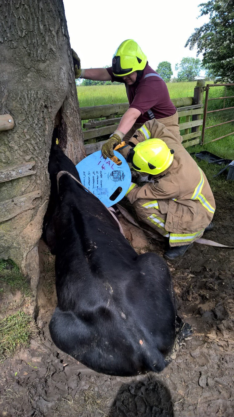 神秘樹洞「狂吃牛頭」剛救出來...另一隻馬上被吸進去