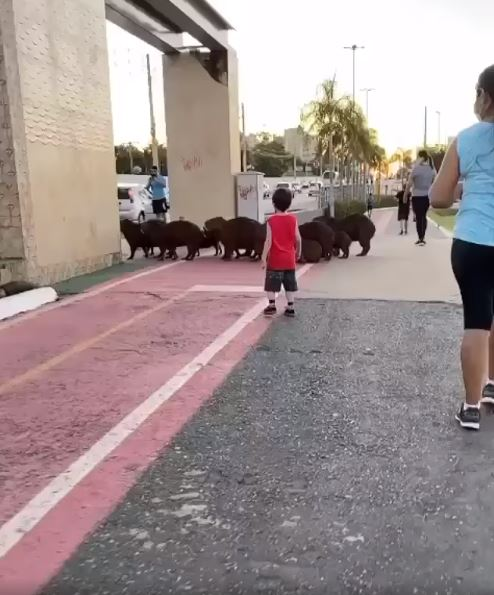 影/走斑馬線才安全!水豚家族「扭屁屁過馬路」路人全被萌翻❤