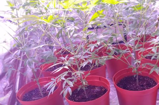 中科院變「大麻農場」電費翻倍跳 研究員宿舍「門縫透紫光」被抓包