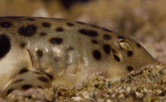 生物驚人進化!科學家發現「會走路的鯊魚」離開水「還能生存」