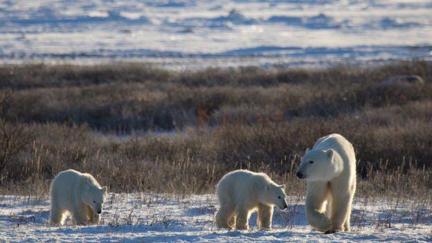 全球快速暖化!北極熊「沒東西吃」專家:恐在2100年滅絕