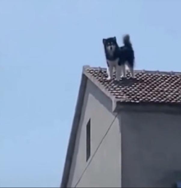 影/以為「流浪貓」爬上屋頂 他仔細看氣瘋:是我家的傻哈!