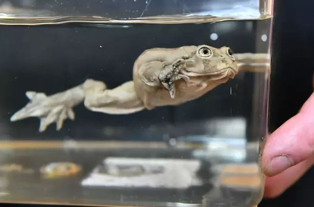「陰囊蛙」被人類「加速絕種」年消失萬隻 科學家:需要大家拯救