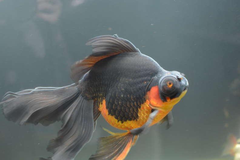 黑金魚「瀕死躺缸底」 她用愛照顧後「褪出真實顏色」重生