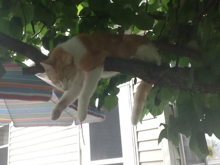貓咪樹上睡姿