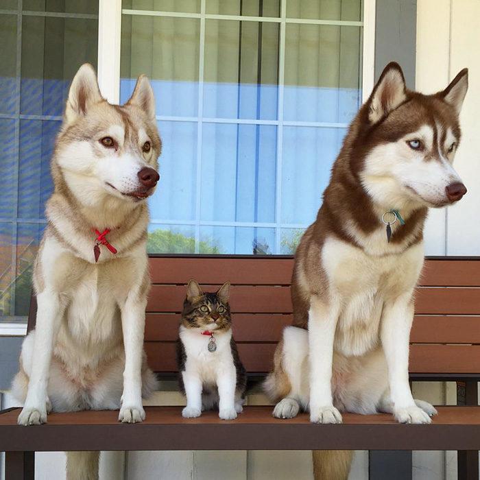 超迷你貓皇混入「世界最萌三哈家族」!牠:我也是大狗狗不准質疑