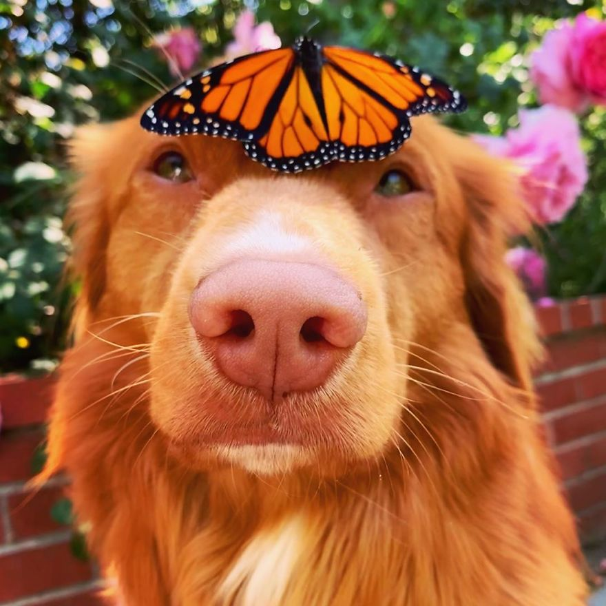 溫柔大狗狗「最愛跟蝴蝶玩」 大方出借「額頭公車」太可愛❤