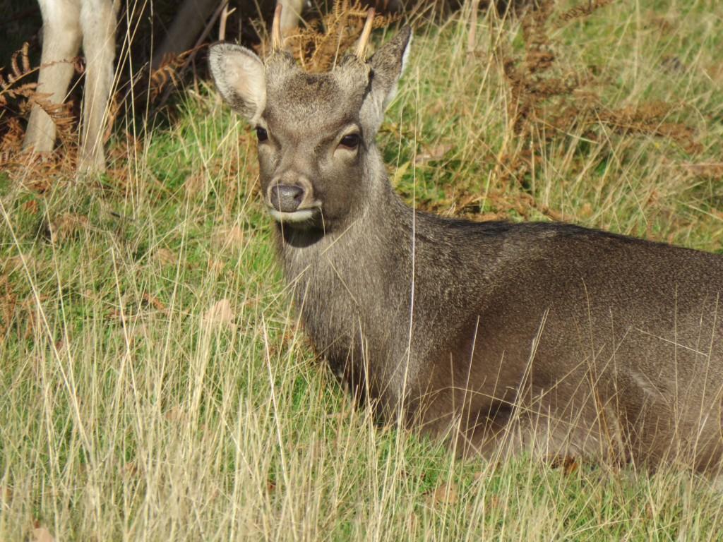 遊客「偷餵紅蘿蔔」害野鹿被撲殺 管理員嘆:養成習慣就死定了