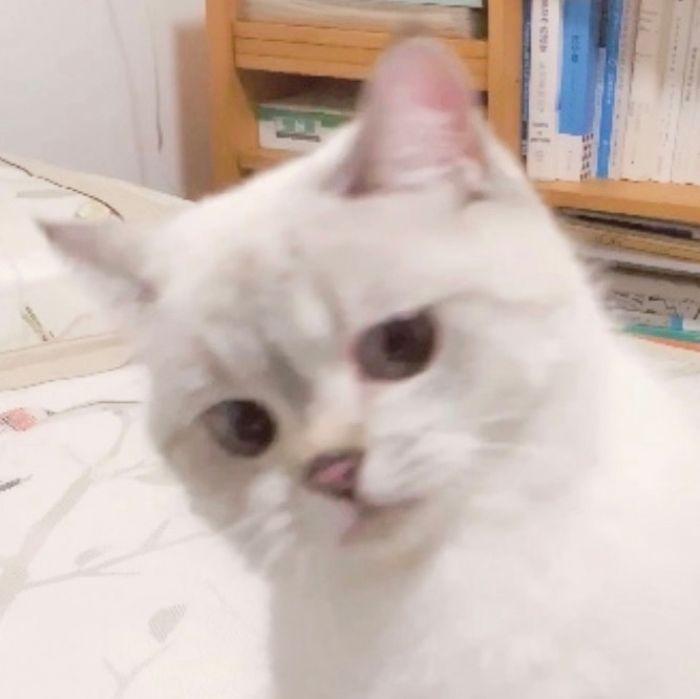 心臟爆擊「表情包貓咪」變網紅 「斜眼鄙視瞪」還是萌到快昏倒❤