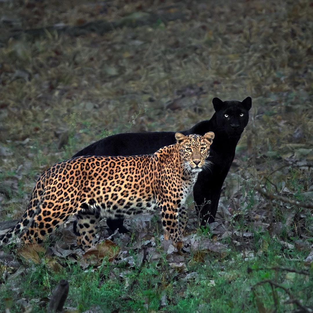 不是影子!攝影師埋伏6天捕捉到「永恆夫妻豹」同時出現