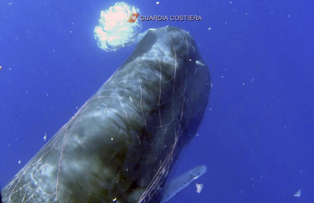 發現「受困抹香鯨」漁網大打結 潛水員「拿刀狂割網」3天才救出牠