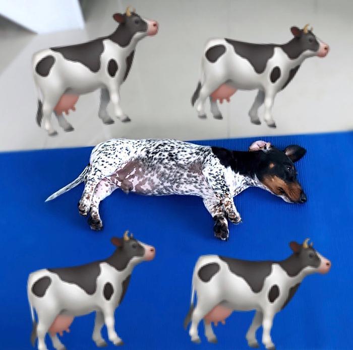 臘腸犬「下半身像乳牛」爆紅 「詭異花紋」網笑翻:墨水沒了?