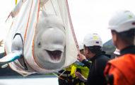 中國海生館「小白鯨獲救」 表演10年「終於能回家」開心到燦笑