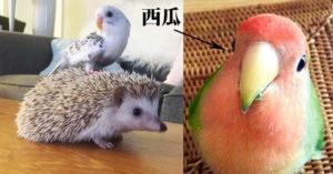 35隻有諧星魂的「超萌小鳥」!雙色鸚鵡生出「4個顏色」的寶寶