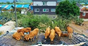 無辜牛群「被大自然捲到屋頂」 傻眼呆站「懷疑牛生」:WTF?