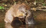 消失400年「河狸」重返英國!17世紀全被「抓去做香水」差點滅種