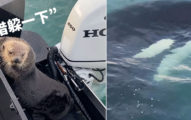 影/聰明海獺「跳上船」躲虎鯨追擊 看到人類害羞搔頭:金拍謝!