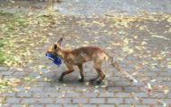 狐狸幹走「藍白拖」被逮!曝光「驚人收藏」苦主笑壞:喜歡就送牠