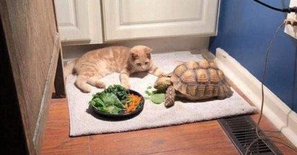 慢到沒朋友!橘貓等「烏龜吃完飯」去玩耍 等到一半「斷電」:我先睡一下