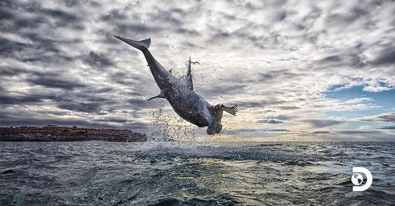 以為離開海就沒事?兇猛大白鯊「飛出水面」4公尺高空狠咬獵物