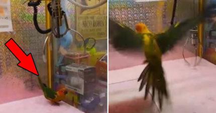 小鸚鵡被放進機台「當娃娃夾」 牠嚇到「四處逃命」網暴怒狂肉搜!