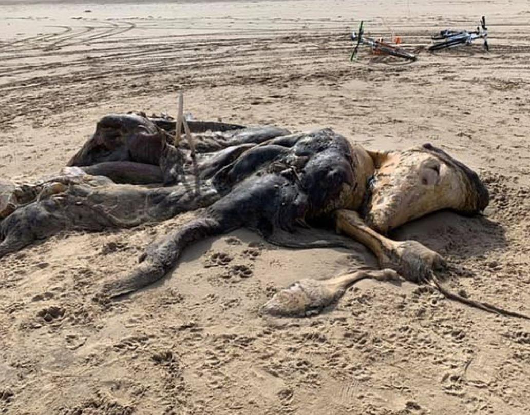 英國海灘「4.5米怪物」橫躺 身上長「皮毛、魚鰭」嚇壞民眾