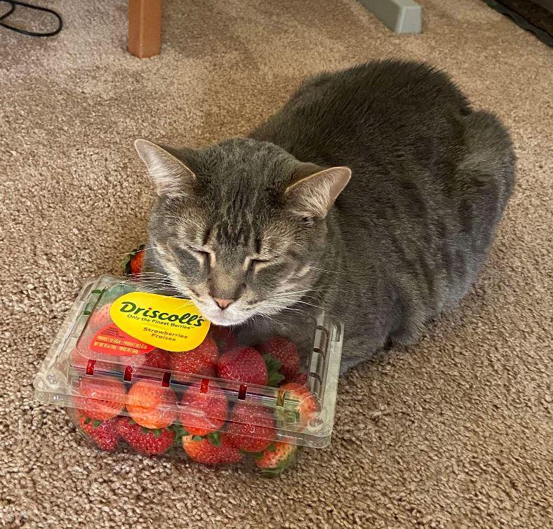 貓咪突然「愛上草莓」!「不想吃掉」只想每天撒嬌抱著睡❤