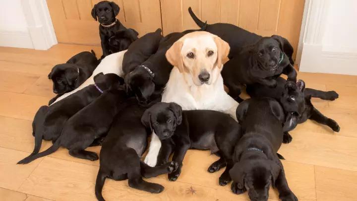 爸爸基因太強!狗媽「連生13隻小黑炭」眼神死:沒一個像我