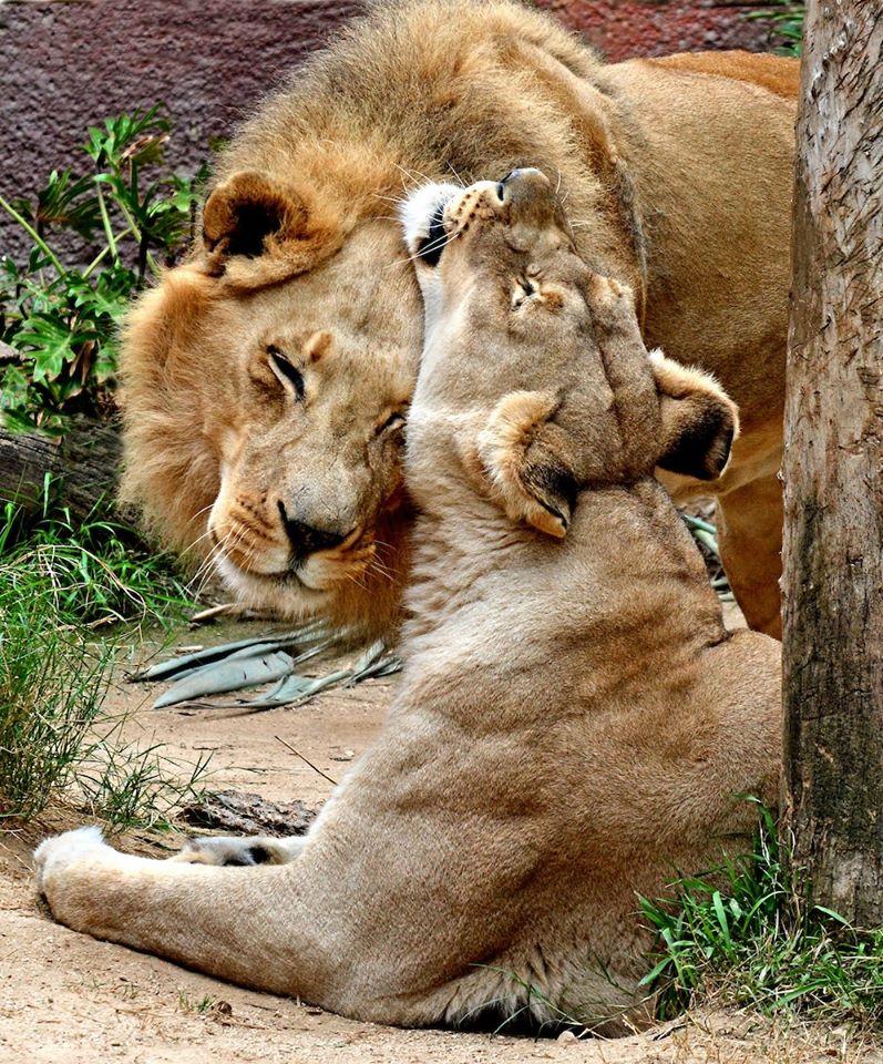 相愛一輩子!獅子夫婦「被安樂死」一起長眠:再也不分開QQ