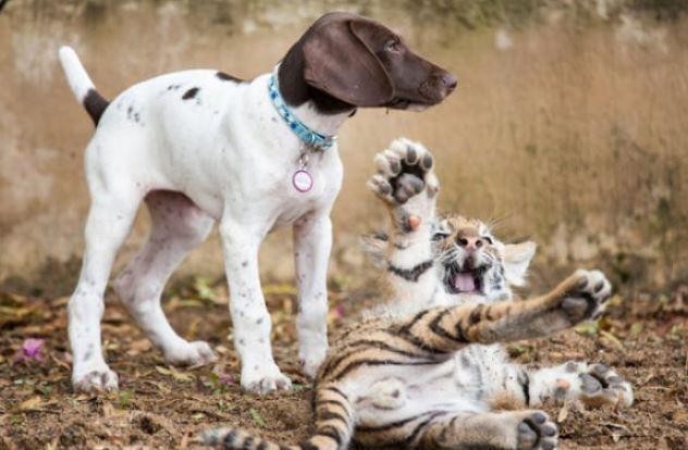 孟加拉虎「失去母親」變孤兒 跟狗狗發展「跨族群友誼」超溫暖❤