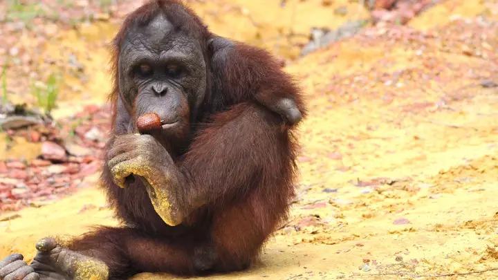 猩猩遭電擊「失去雙臂」 被人類救活「靠雙腿」成為明星榜樣!