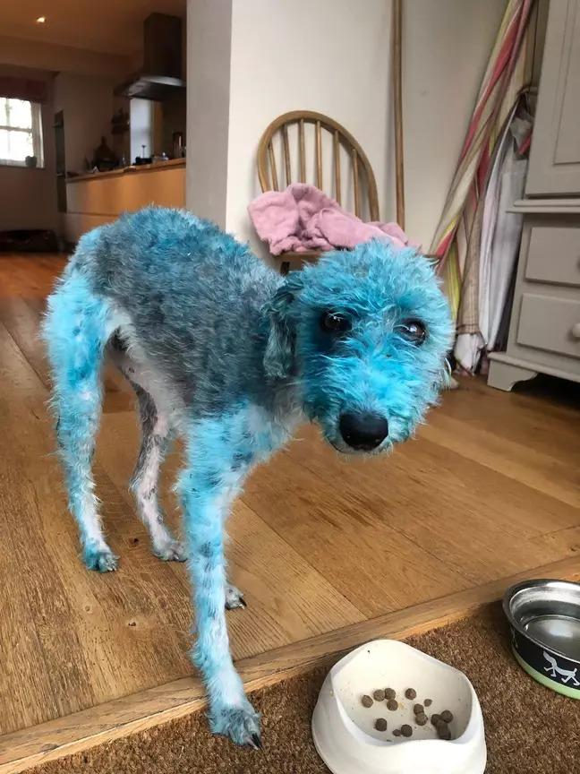 小白狗「莫名變藍色」嚇壞主人 揭開「調皮真相」顏色是牠選的