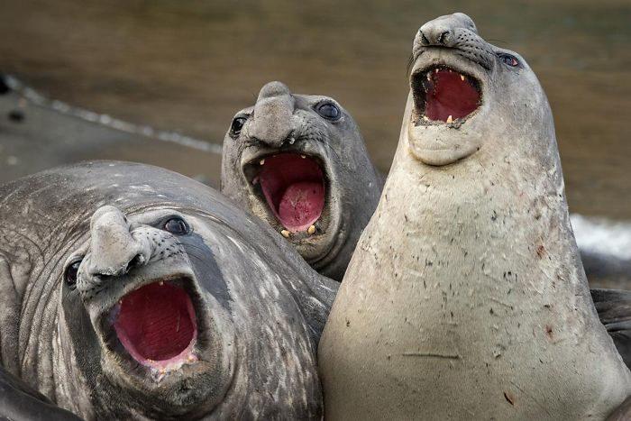 25隻「被戳中笑點」的諧星海豹 牠「笑到全身僵硬」超療癒❤
