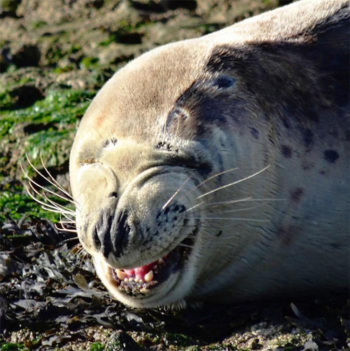 海豹大笑照
