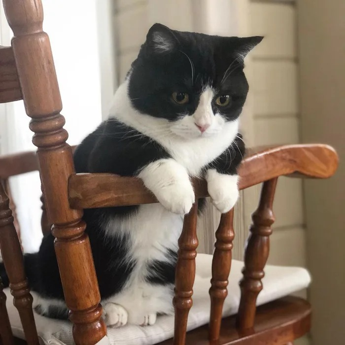 萌貓憑「10公分短腿」爆紅 Q萌外表被封「喵界柯基」❤
