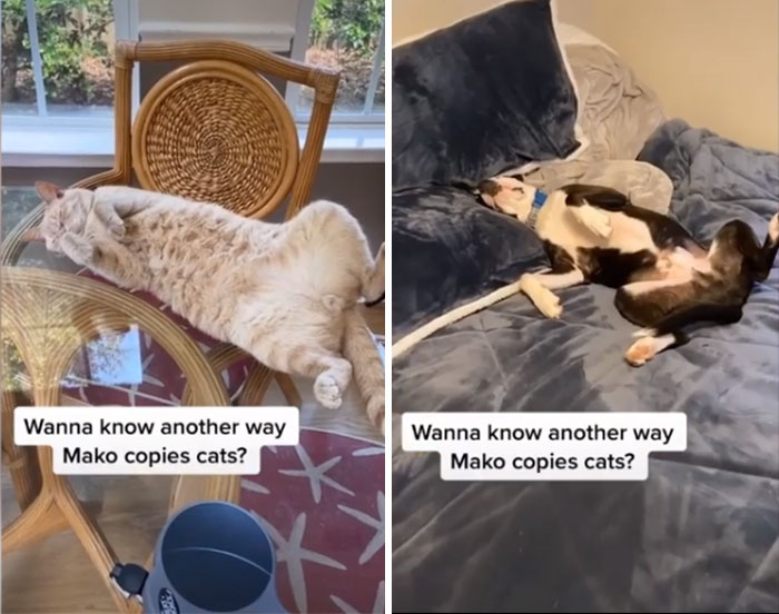 呆汪被同化「以為自己是貓」堅持不站在地上 連貓皇前輩都傻眼
