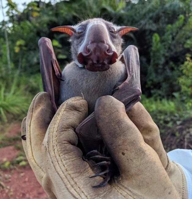網瘋傳「長得像麋鹿」的超特殊蝙蝠 公開「可愛正臉」萌翻眾人❤